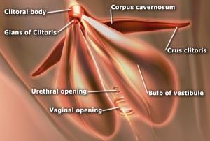 http://upload.wikimedia.org/wikipedia/en/e/e7/EdSim_Clitoris_anatomy.jpg